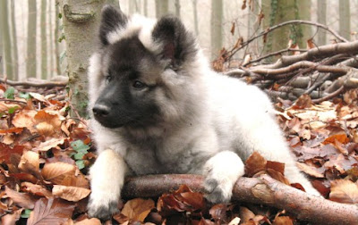 Keeshond Puppies Pictures