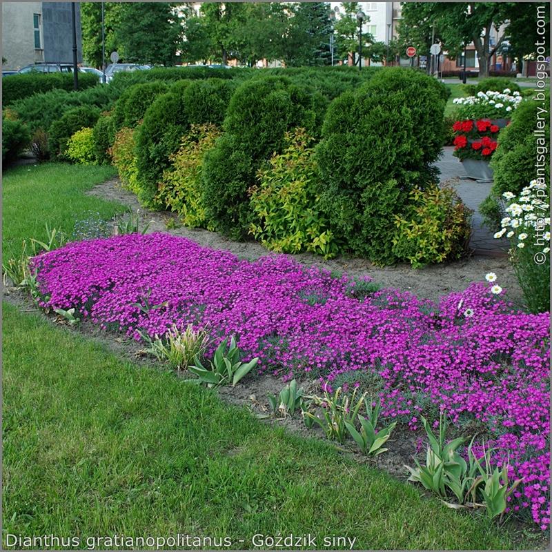Dianthus gratianopolitanus - Goździk siny