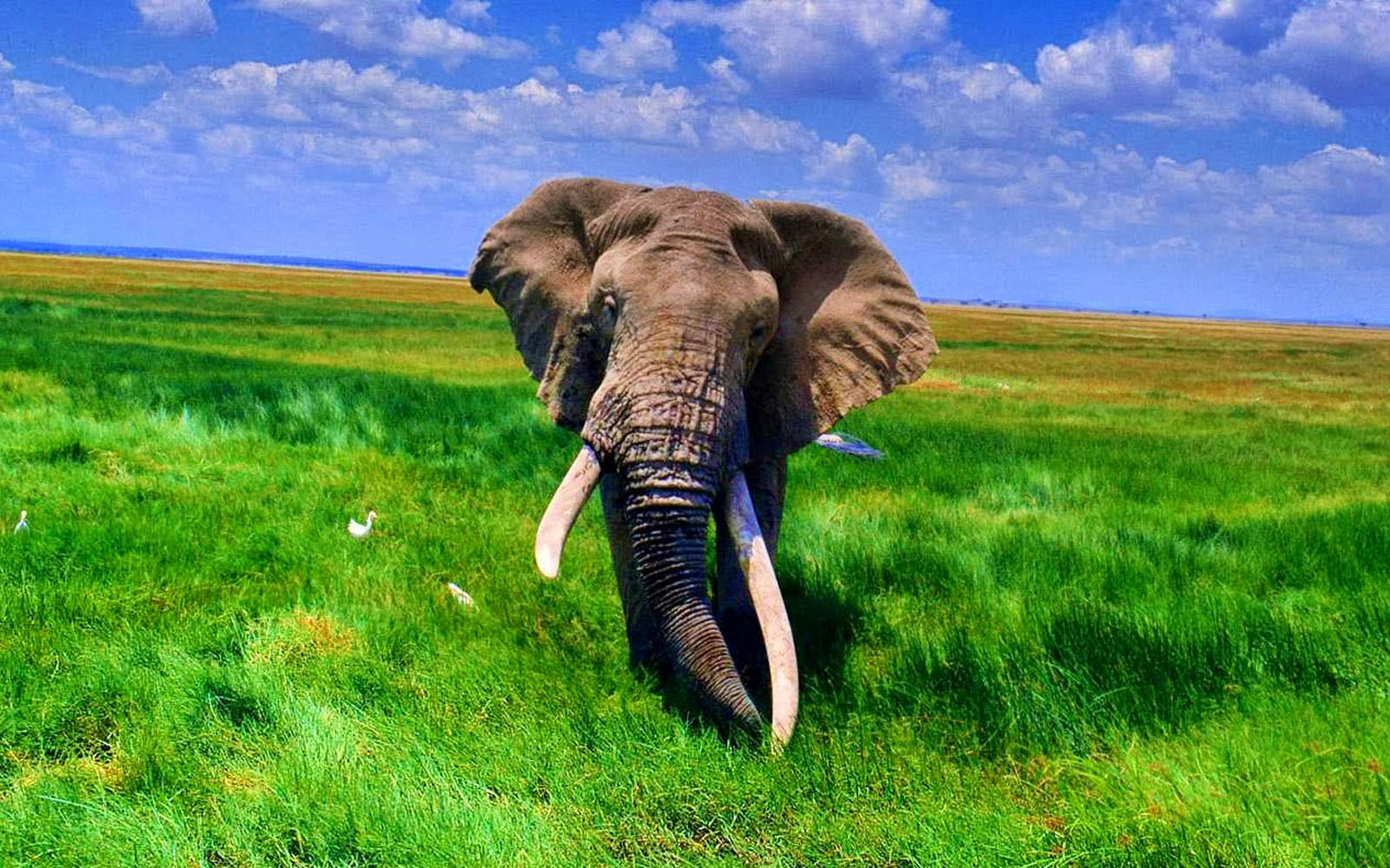 african elephant wallpapers hd wallpapers