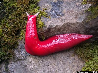 Australia Giant Pink Slugs