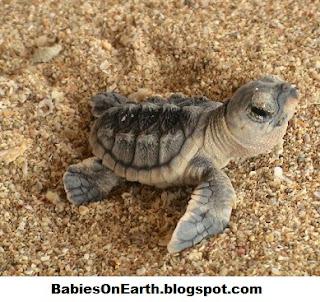 Baby Hawksbill