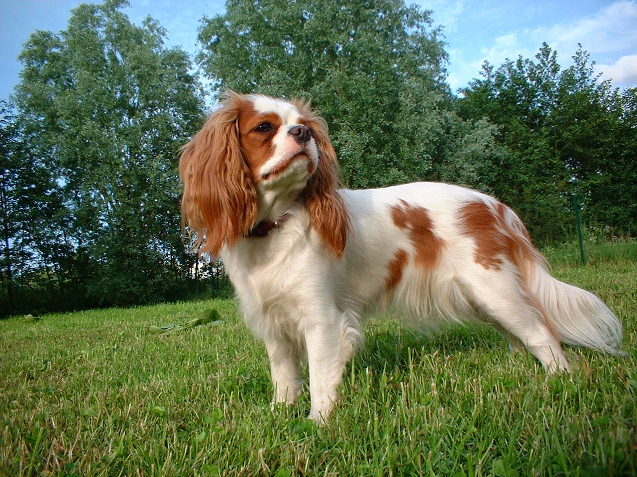 How To Groom My Dog How To Groom A Cavalier King Charles Spaniel
