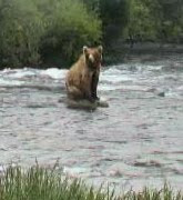 Bears won't be back fishing at Katmai...
