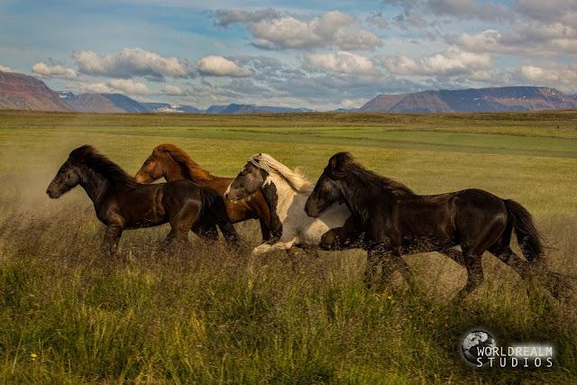 islandskie-loshadi