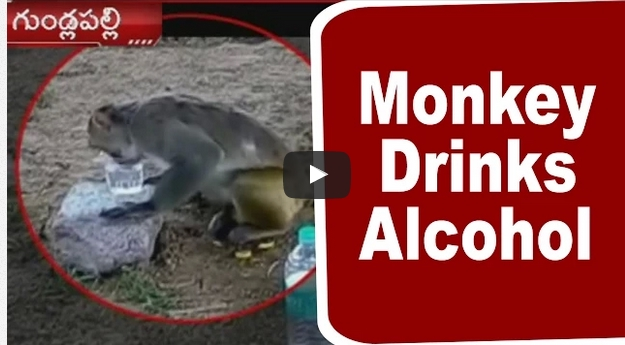 Monkey Drinks Alcohol Exclusive Video From Nalgonda