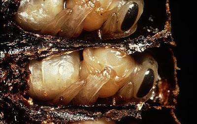 Larvas de abeja en la colmena