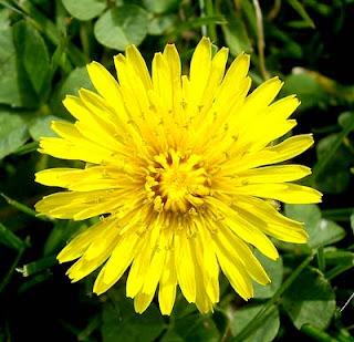 Dandelion Flower, Dandelion Flowers