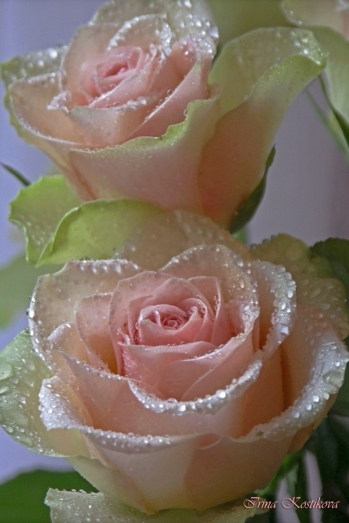 Adorable look, dew drops on beautiful flowers
