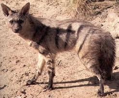 Aardwolf, Hewan Mamalia Unik Paling Langka di Dunia