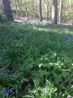 My Sunday photo - Bluebells @ Ups and downs, smiles and frowns