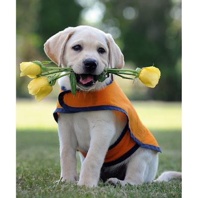 Labrador Training Puppy