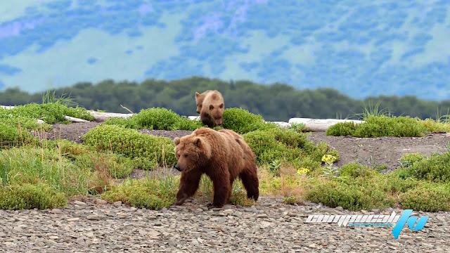 Bear 1080p HD Latino