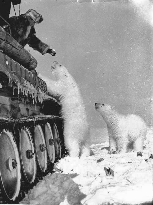Feeding polar bears from a tank. circa 1950.
