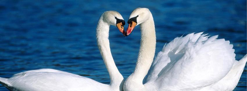 Sampul Facebook Love Swan | Foto foto Asik Terbaru OneSoft | Koleksi