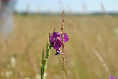 Gladiolus tenuis M. Bieb.