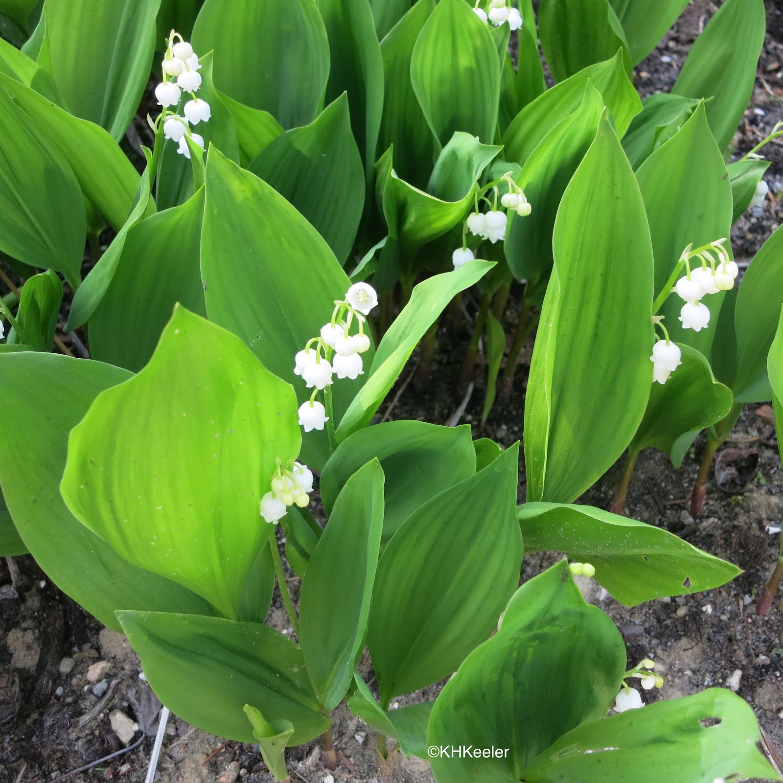 A Wandering Botanist Plant Story Lily Of The Valley Traditional