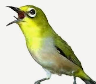 burung kacamatakaputtnik