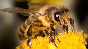 حقائق مُدهشة عن الكائنات الأكثر تنظيماً.. النحل