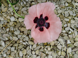 Poppy on gravel