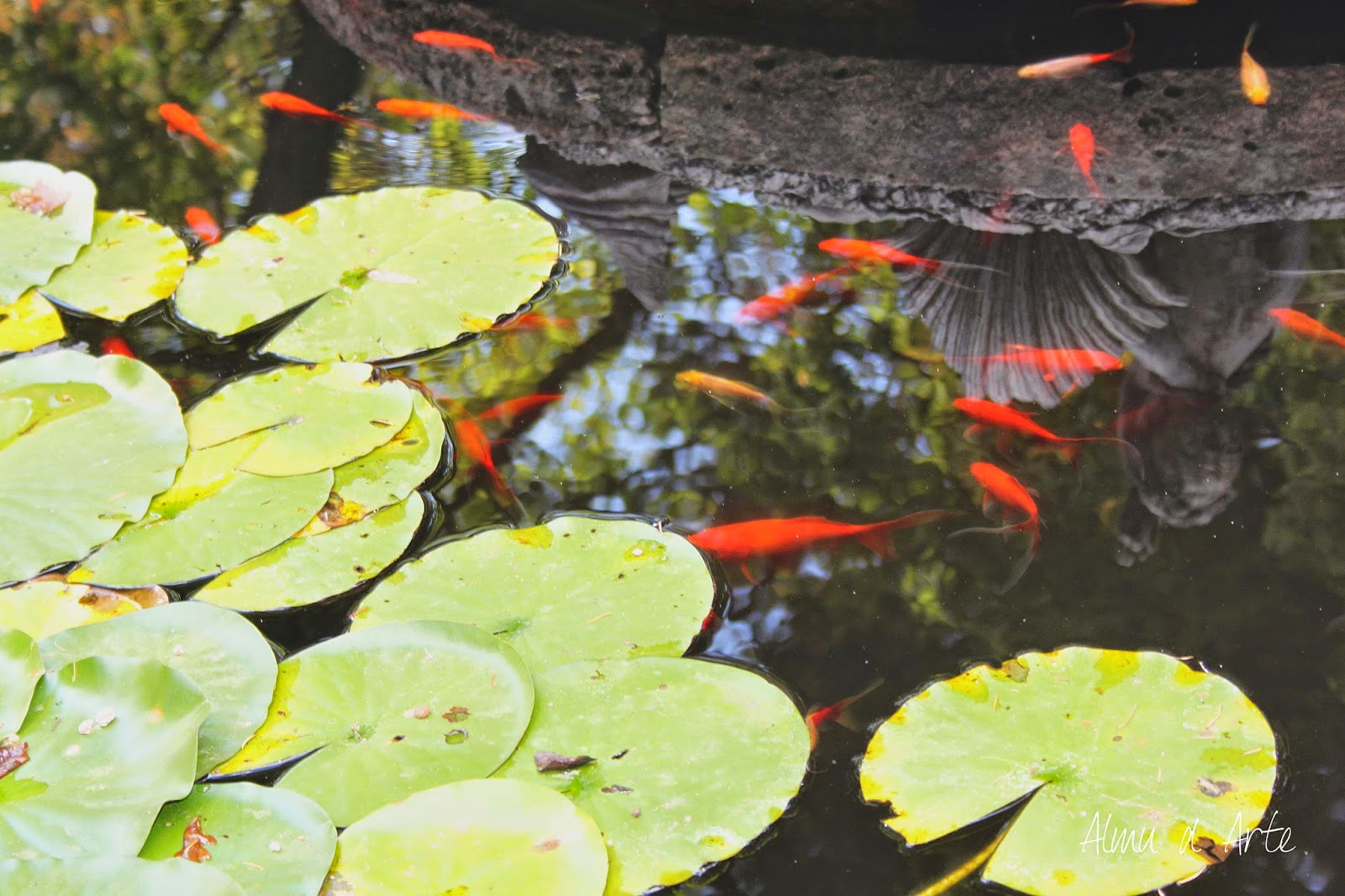 Nenúfares y peces de las fuentes de los Jardines de La Granja