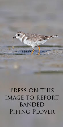 Great Lakes Piping Plover Research