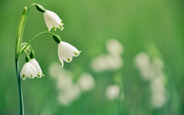 Flor Blanca y Verde Imágenes de Flores para San Valentin