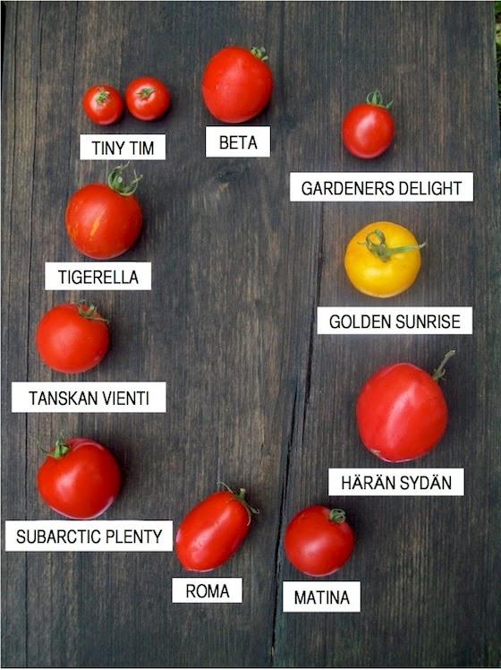 Tomaatin kastelu