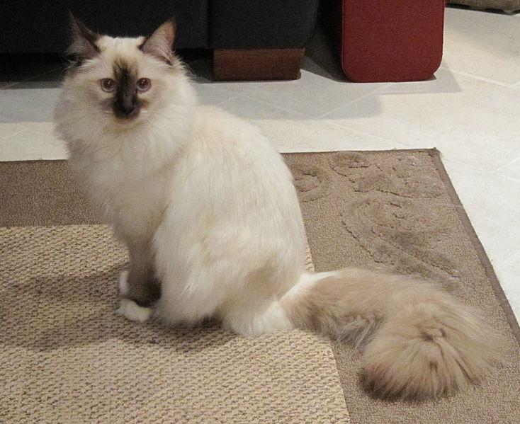 birman kitten pictures - photo #22