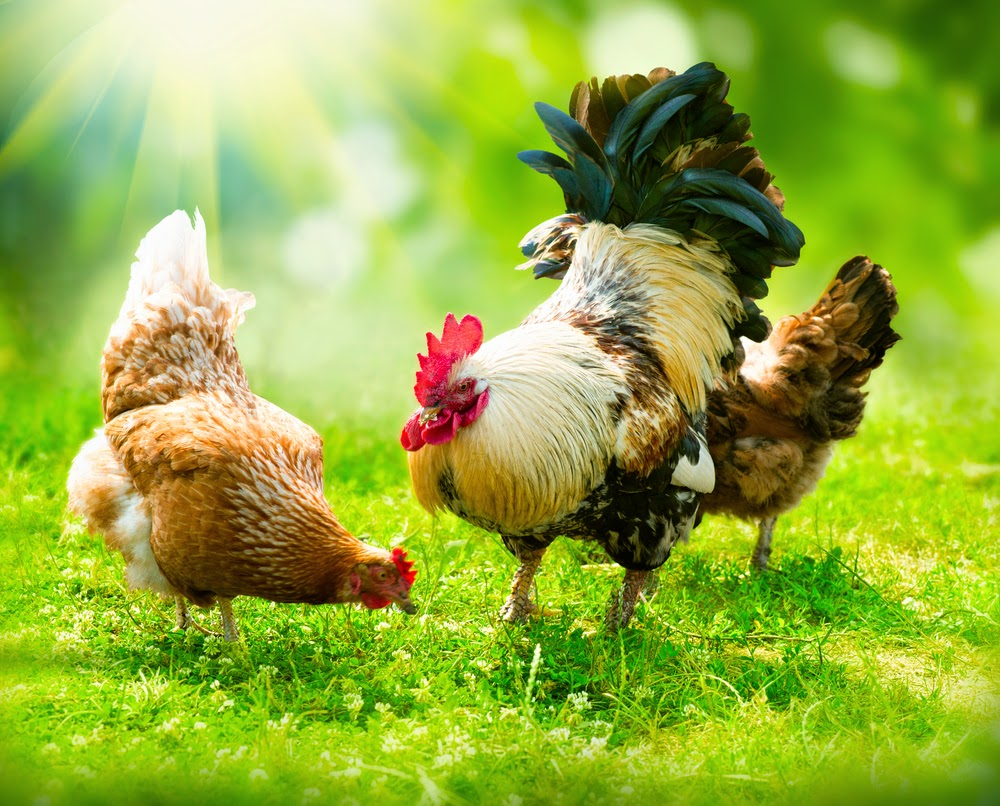 healthy sustainable living what is it about backyard chickens