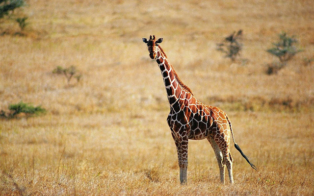 Tags Giraffe HD Wallpapers Free Download Images Pictures