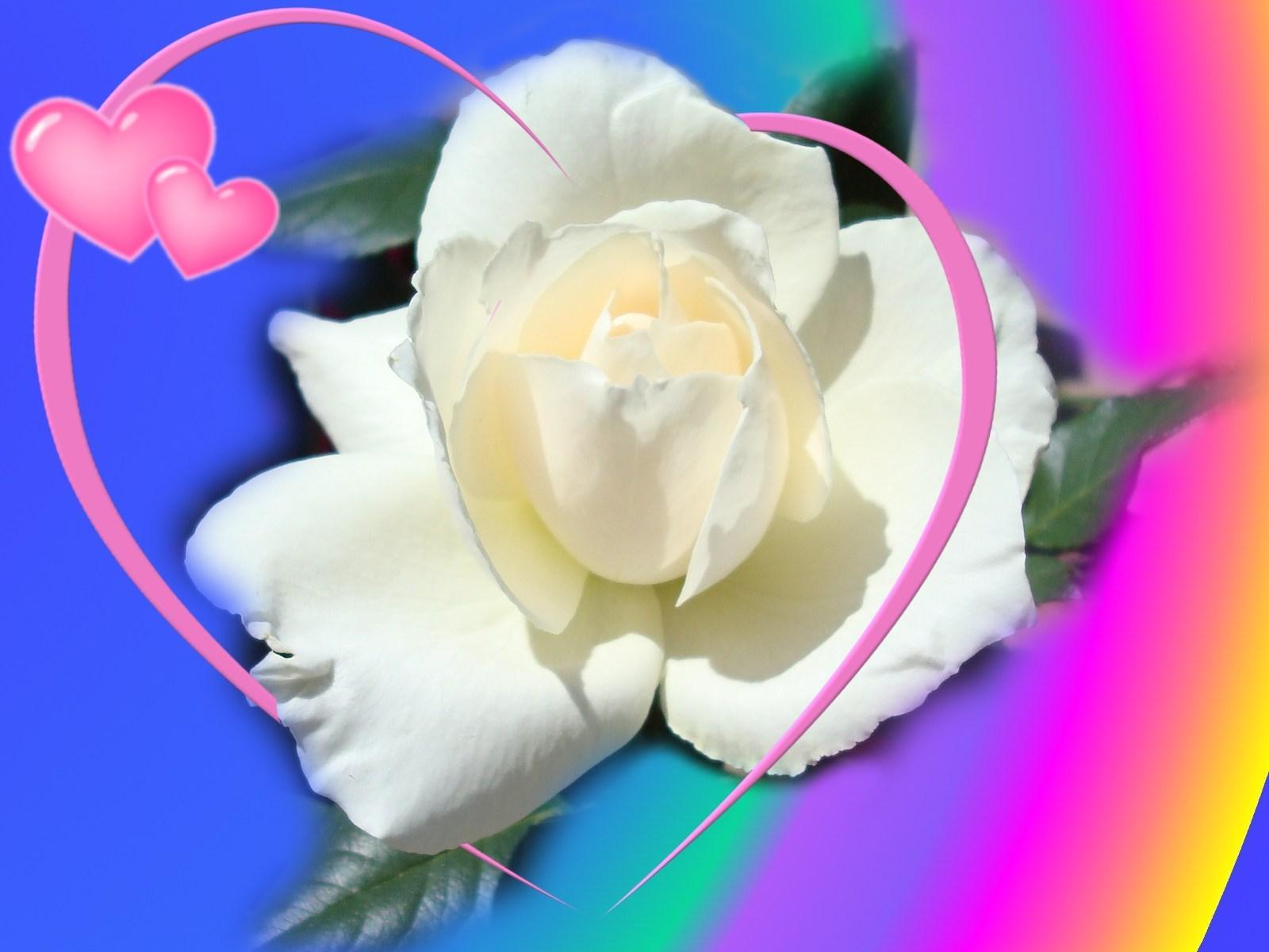 Full Picture Best White Rose Flowers Wallpapers