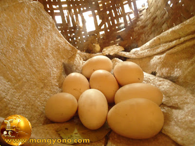 Telur - telur ayam siap dierami induknya