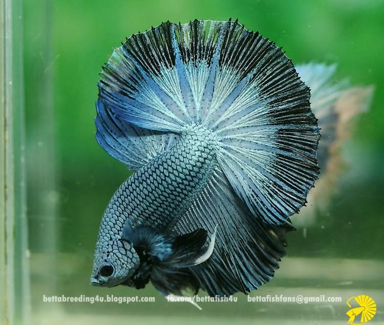 Steel blue halfmoon betta fish for Halfmoon betta fish