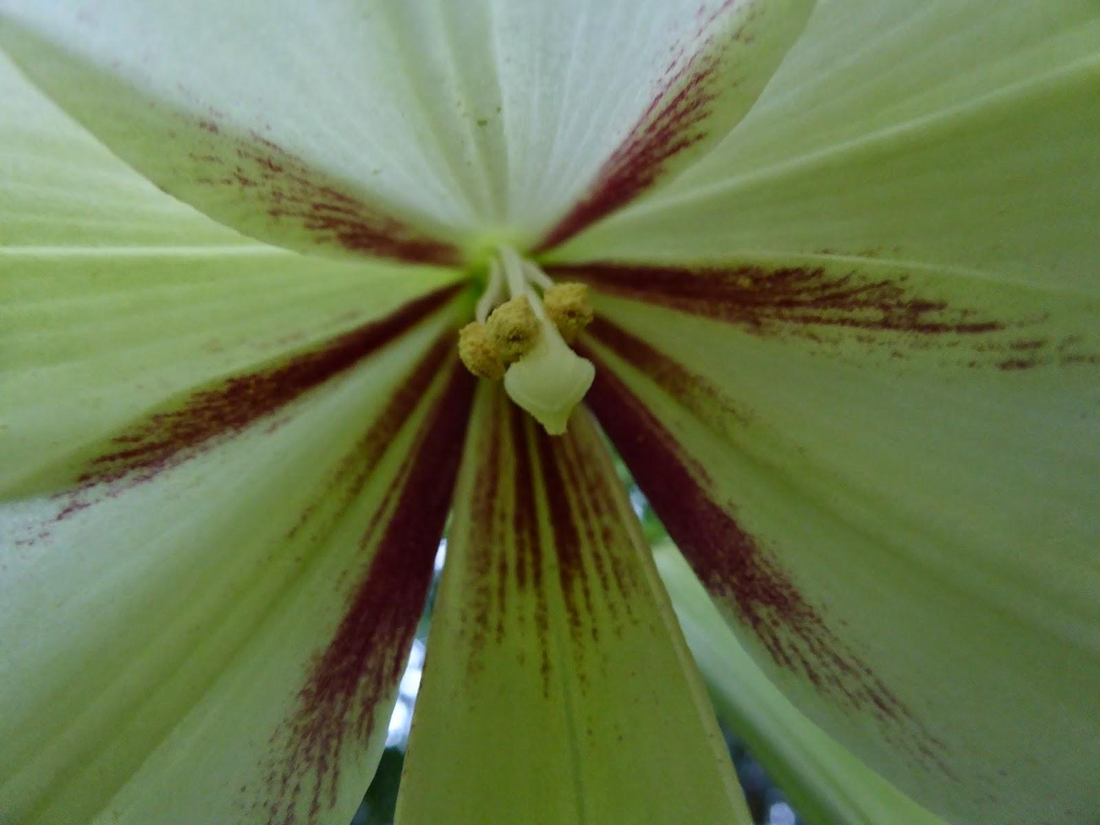 Alan Jolliffe Cardiocrinum Giganteum Giant Himalayan Lily