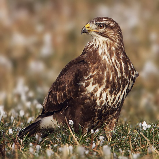 Picture of Buzzard Free