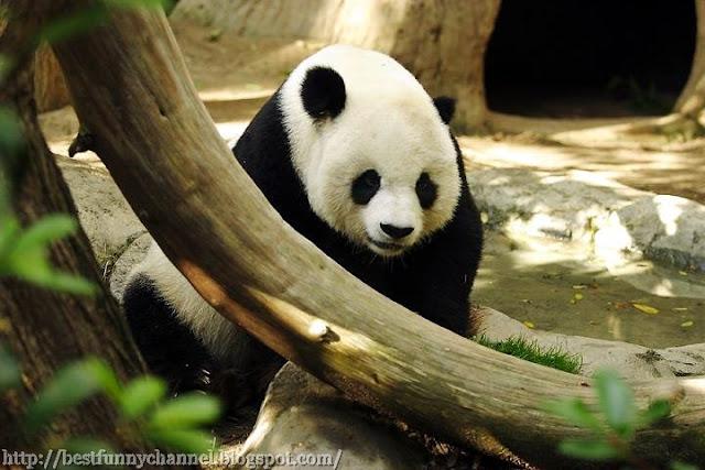 Very nice panda.