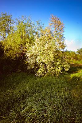 Ива на пруду за городской рощей Новочеркасска