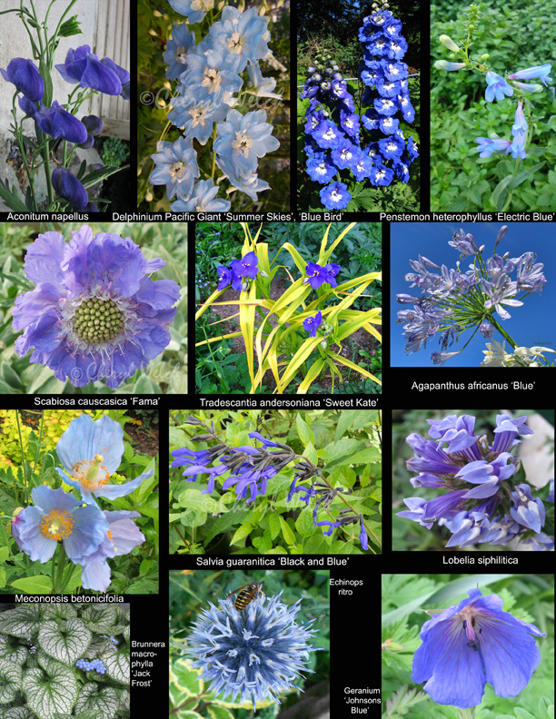 My Petal Press Garden Blog: Perennial Blue Flowers
