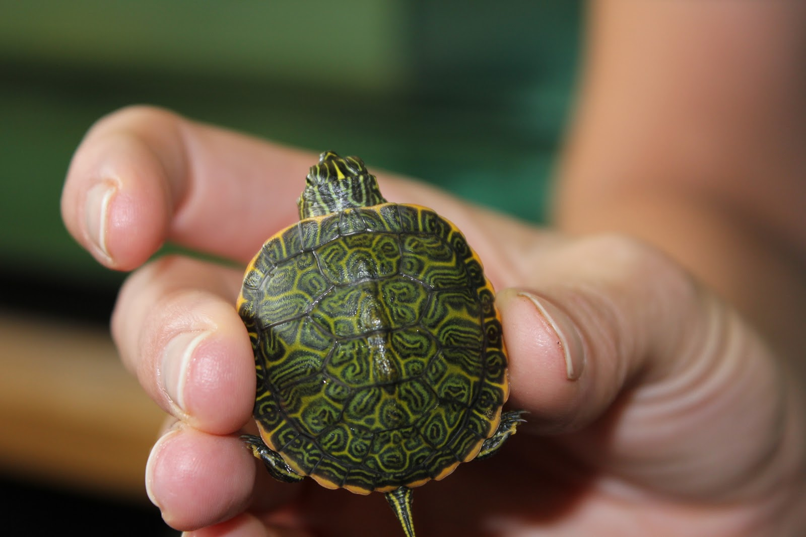 Scientists initially thought the Northern red-bellied cooter was a ...