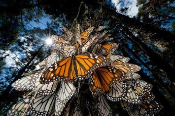 Monarchs Migration!