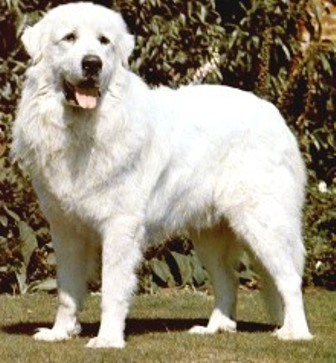 pyrenees mountain dog. Great Pyrenees