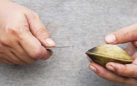 (Если вы левша, меняем руки ). Нож держим параллельно отверстию раковины моллюска.