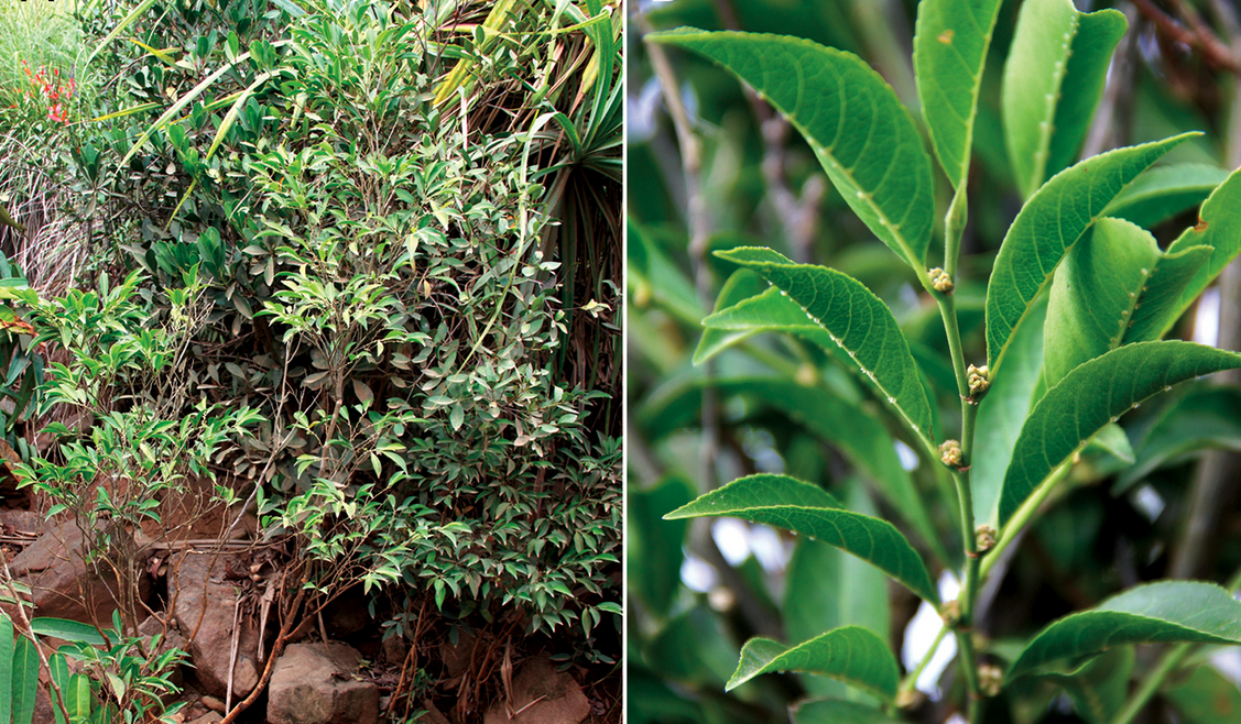 Metal-Eating Plant Discovered By Filipino Scientists