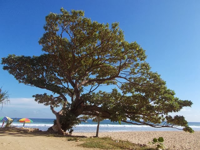 Ikon Pantai Pok Tunggal yakni pohon Duras