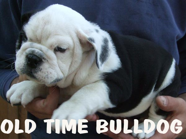 ... american bully bicho amigo blue nose bulldog bully bulldog filhotes