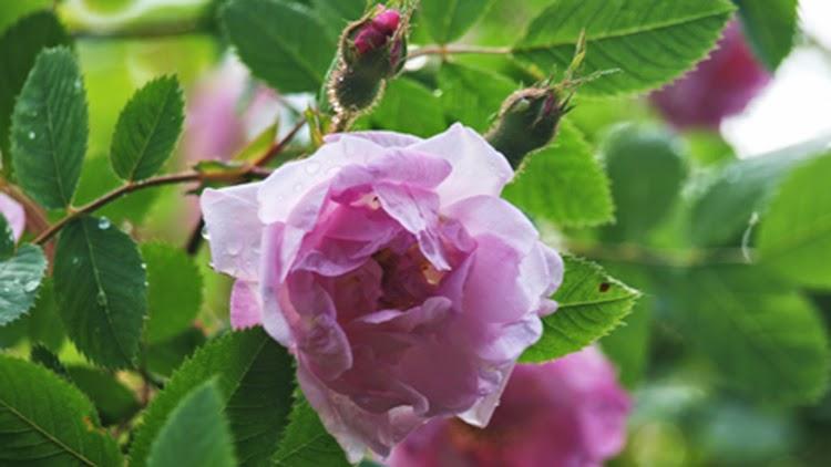 Hurdalrosen er en nem rose med overdådig blomstring i sommeren