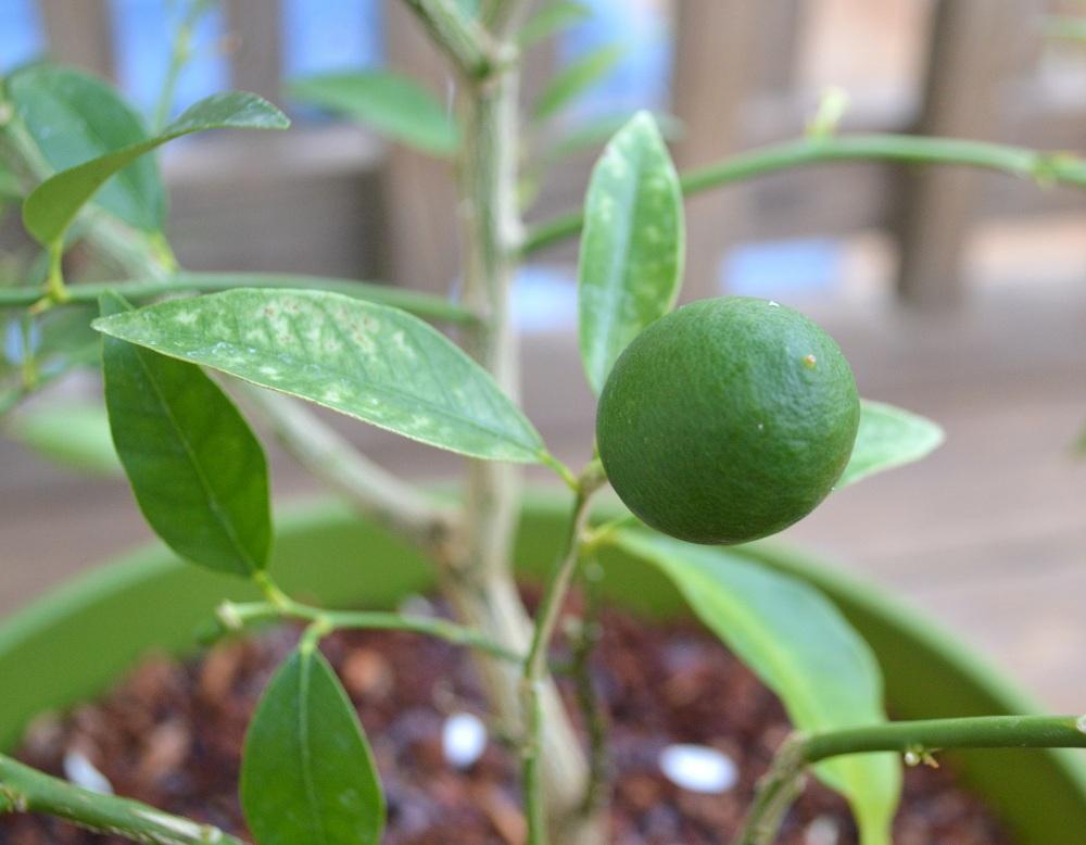 New plants citrus tree transplant update bumbleberries for When to transplant lemon tree seedlings