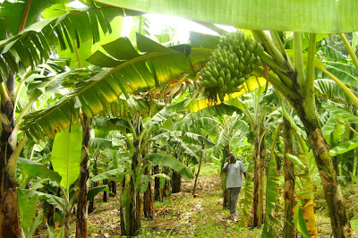 plaintain farming business in Nigeria