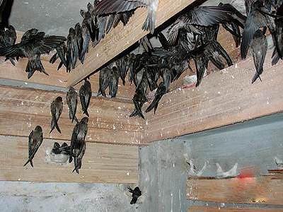 http://4.bp.blogspot.com/-F1xU75b9Z1c/TcGPkWVv1DI/AAAAAAAABdM/CLXHnqpTm7o/s1600/ternak+burung+walet.jpg