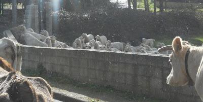 Bolotana muucche e pecore